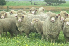 Ewes-and-lambs-093