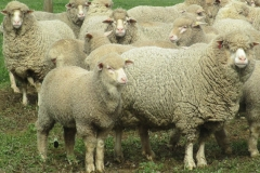 Ewes-and-lambs-098